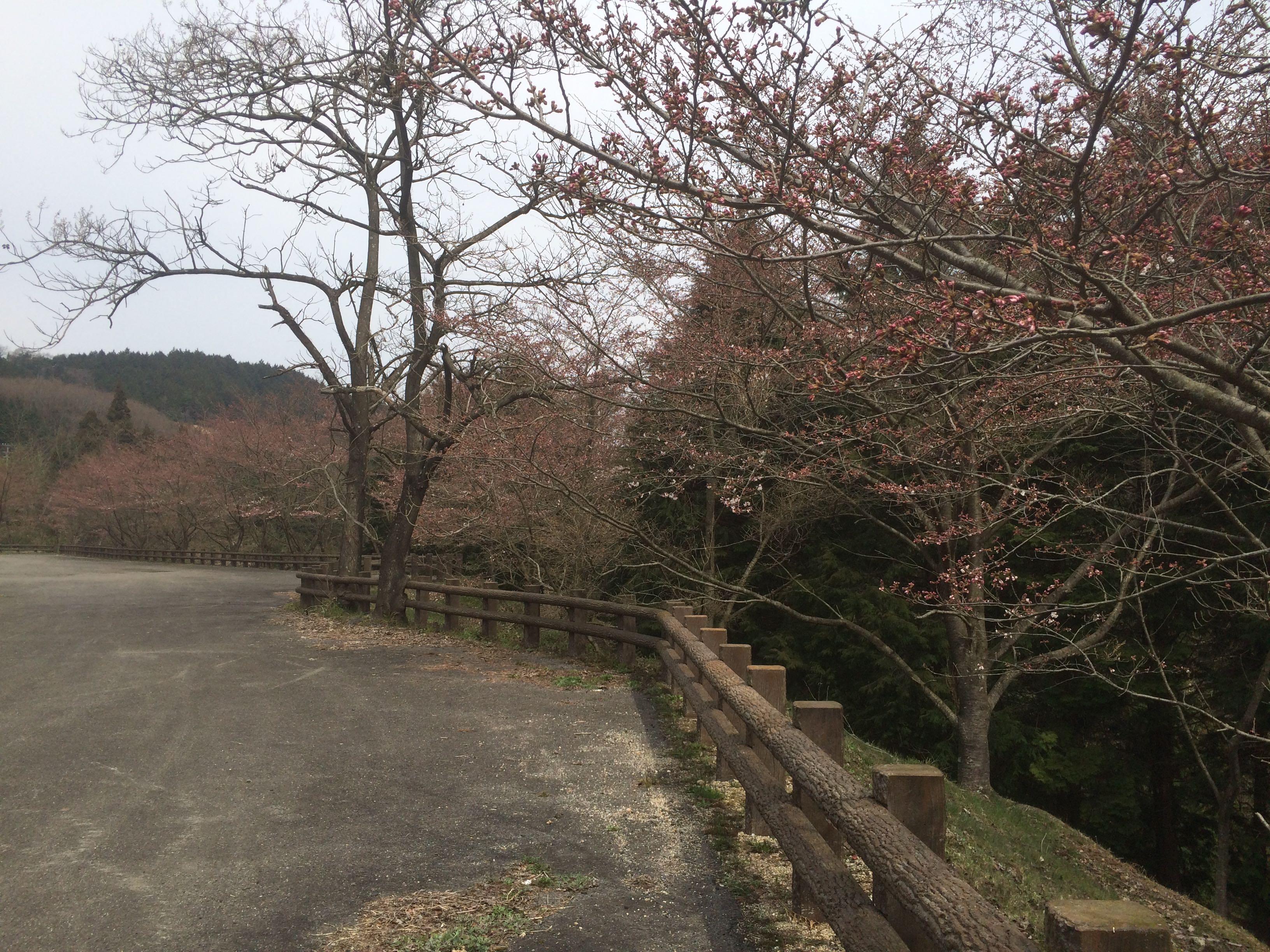 みとん今治,朝倉ダム,桜,朝倉,ソメイヨシノ,緑水公園