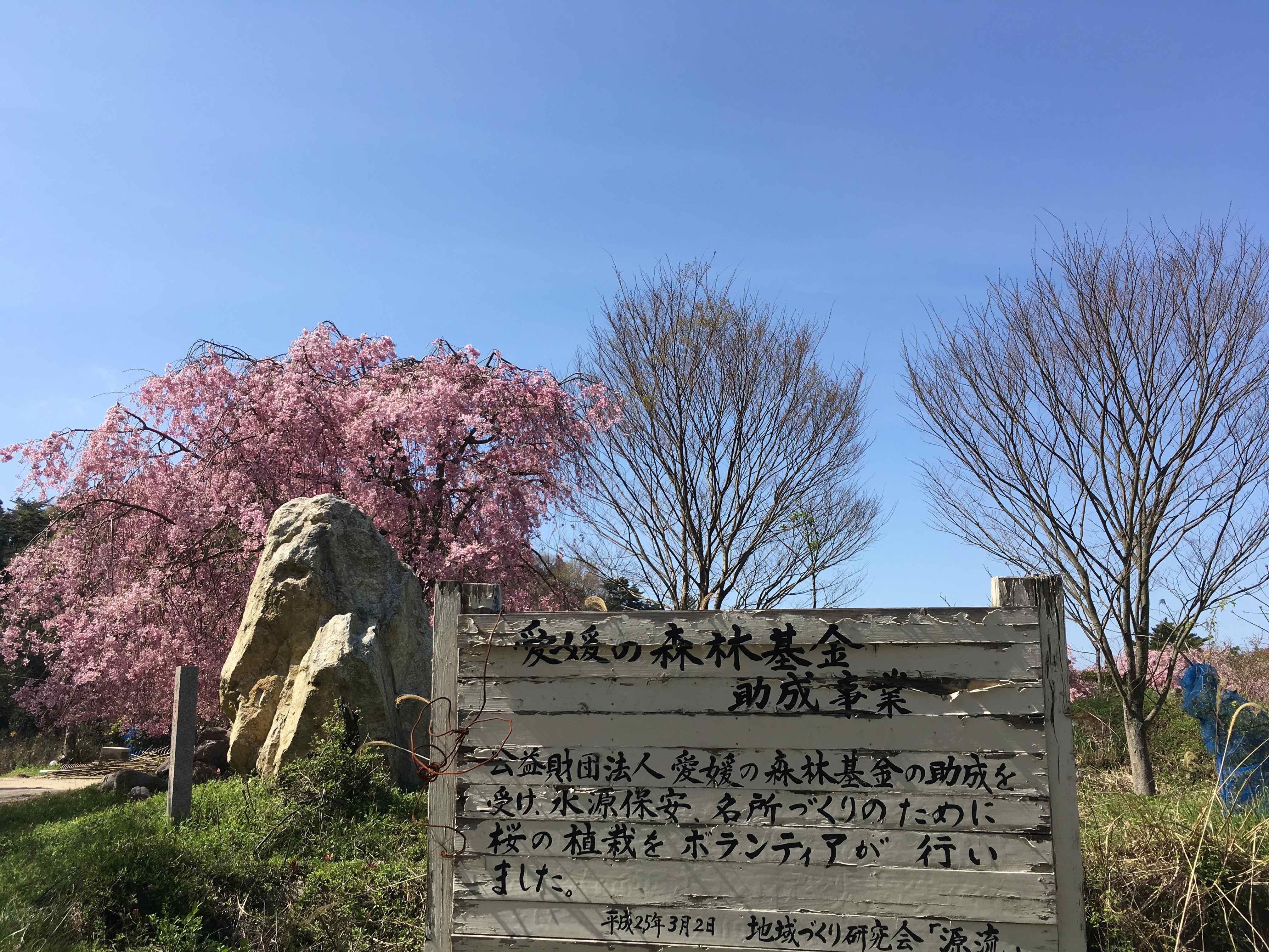 みとん今治,嵯峨子城趾,玉川,枝垂れ桜,開花状況