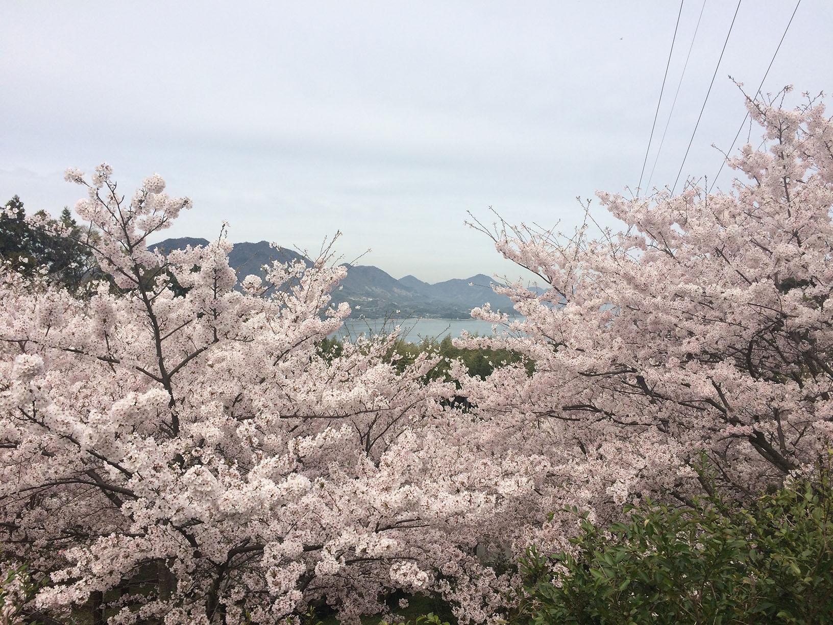 桜の名所,セレクション,みとん今治,スポット