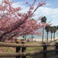 みとん今治,河津桜,大角海浜公園,花見,大角の鼻,スポット