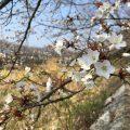 みとん今治,桜,ソメイヨシノ,頓田川