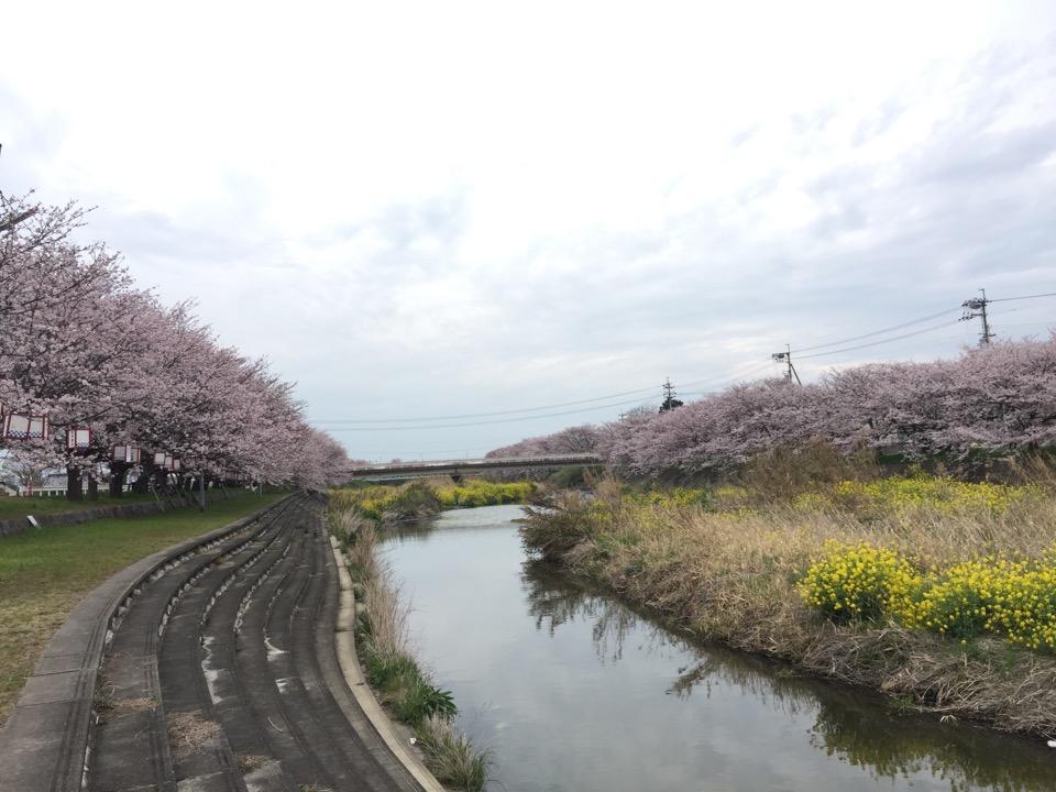 みとん今治,頓田川,桜,ソメイヨシノ,花見