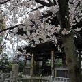 みとん今治,南光坊,桜