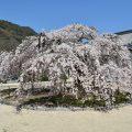 みとん今治,教善寺,大三島,桜,枝垂れ桜