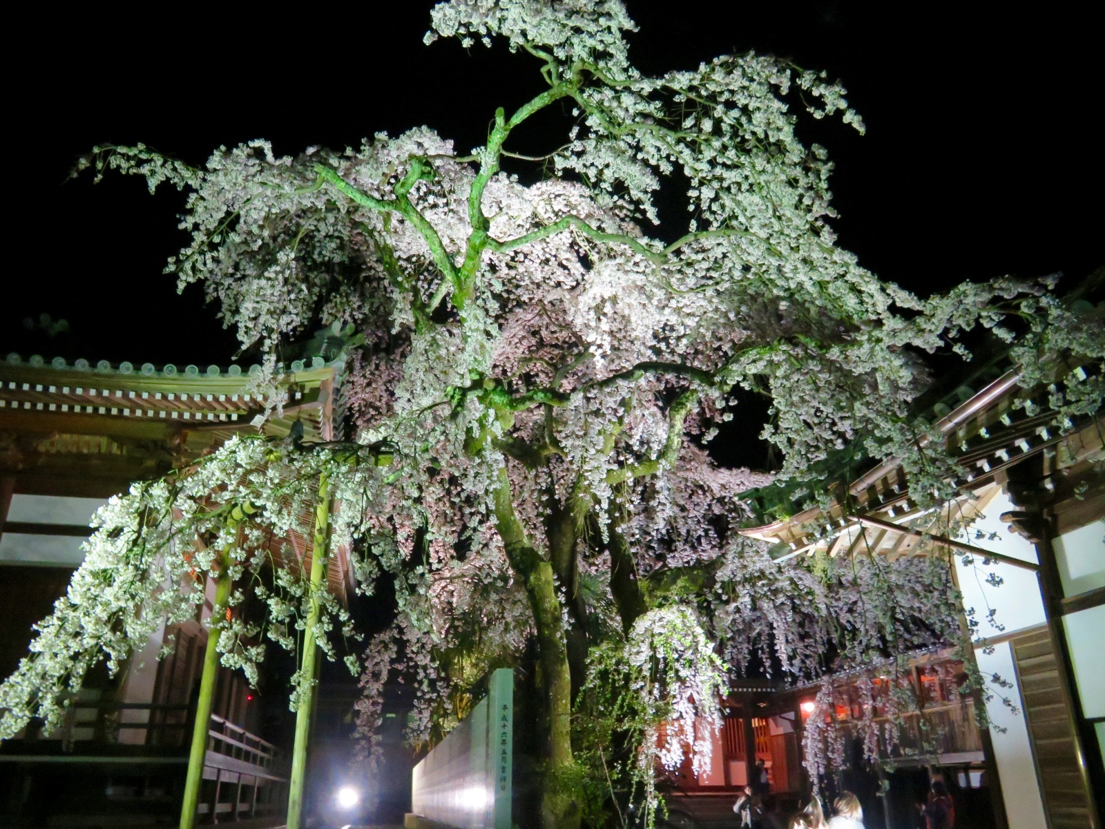 みとん今治,夜桜,花見,無量寺,枝垂れ桜