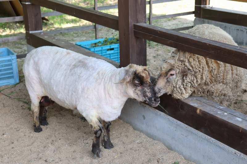 みとん今治,菊間,こまどり牧場,羊