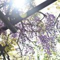 みとん今治,藤山健康文化公園,大西町,フジ,開花状況